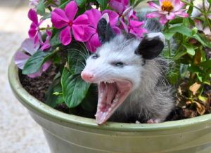 Ft. Lauderdale Opossum