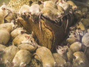 rat infestation ft lauderdale