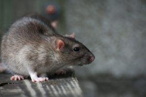 house-rats