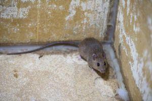 Ft. Lauderdale Rat