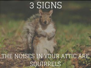 3 Signs The Noises In Your Attic Are Squirrels Critter