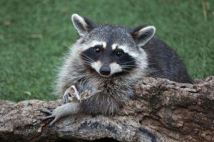 ft.lauderdale raccoon