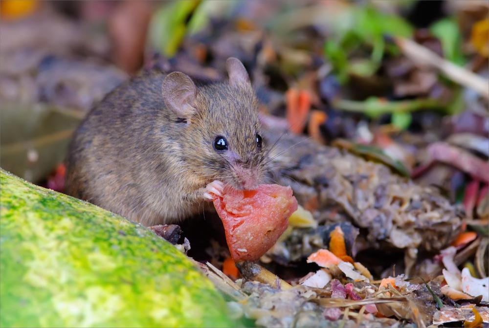 Mice Infestation Ft. Lauderdale