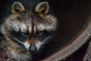 Raccoon in Your Attic